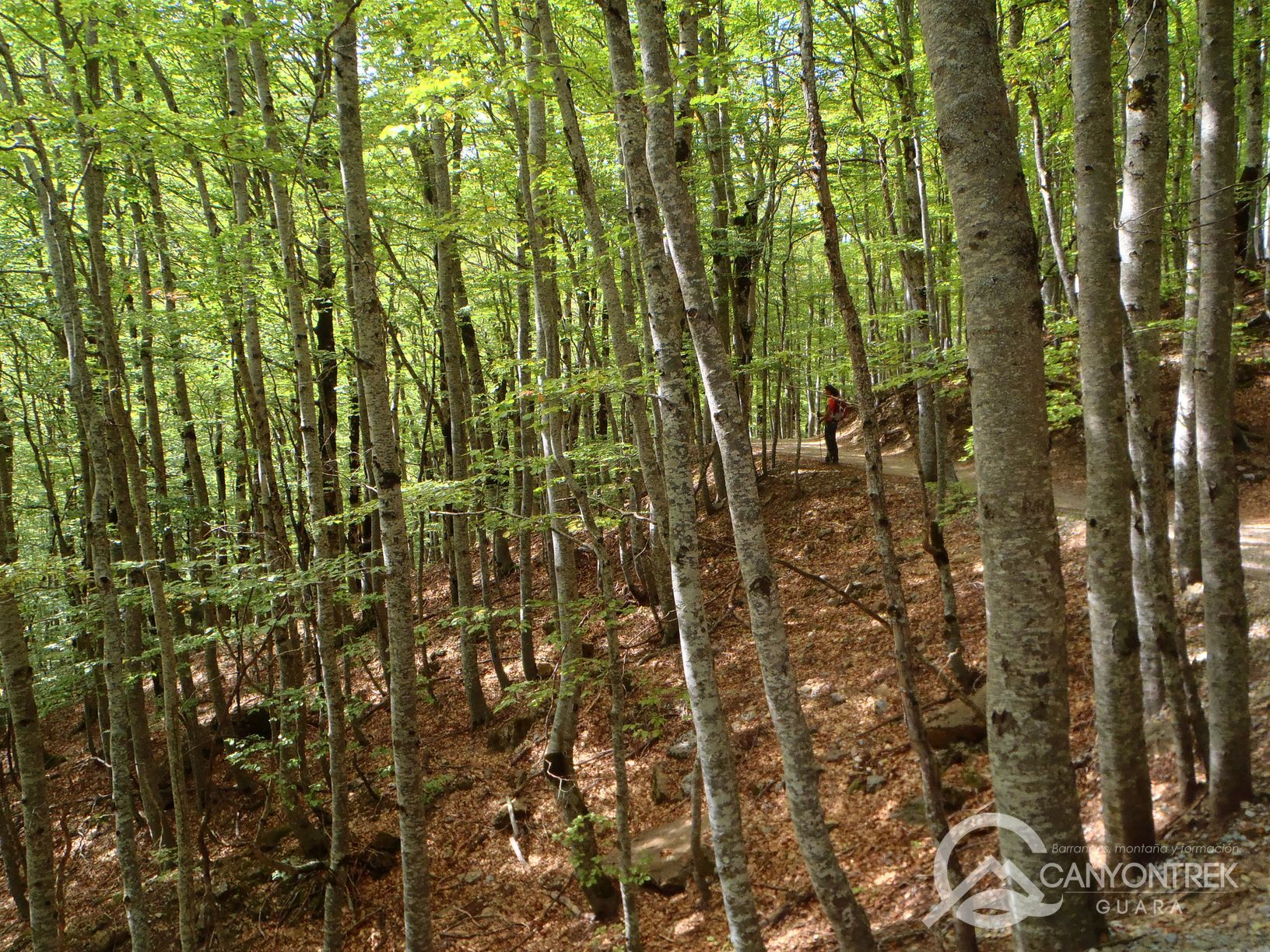 Frondoso bosque de hayas y avellanos en Ordesa