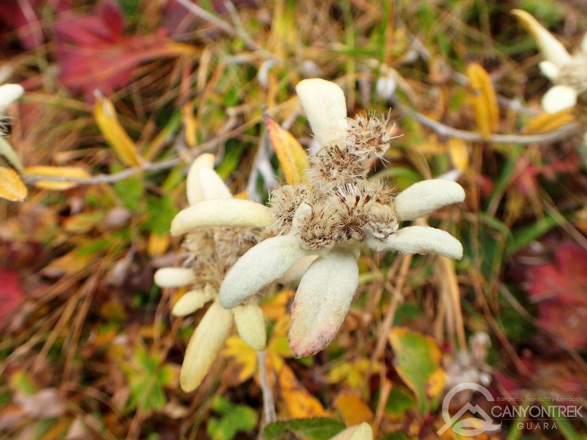 Edelweiss en la faja Tormosa